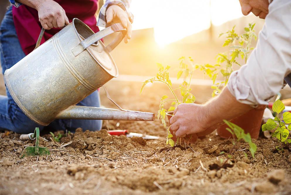 Senior couple planting seedlings of tomato in their garden